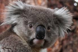 regional plan aims to protect region u0027s koalas u2013 echonetdaily