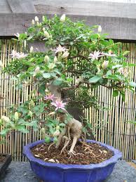 bonsai saule pleureur bonsaï création l u0027album photos collection des membres