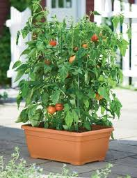 light requirements for growing tomatoes indoors growing tomatoes indoors discover how to grow tomatoes indoors how