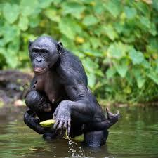 siege social bonobo qi quite