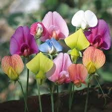 sweet peas flowers the flowers of this vibrant selection of annual sweet pea species