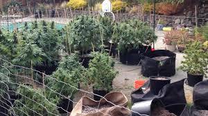 i team exclusive officials say major marijuana operation