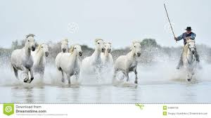 camargue white horse wallpapers white camargue horses running on the water stock photo image