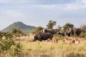 the will tell us do elephants and rhinos compete for food