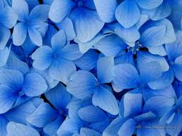 imagenes con flores azules dia de la maestra hortensia blue flower power pinterest flores azules azul y flor