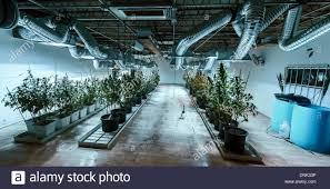 denver colorado usa 31st dec 2013 a grow room at 3 d