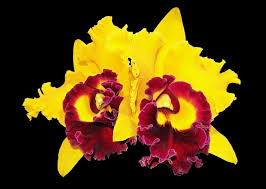 yellow orchids orchids flower yellow orchid photo for free