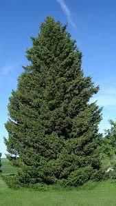 douglas fir tree green douglas fir pseudotsuga menziesii viridis