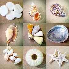 where to buy seashells craft seashells ebay