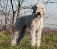 bedlington terrier guide bedlington terrier breed guide