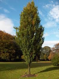 fagus sylvatica fagus sylvatica u0027dawyck u0027 gold columnar beech larc 316 trees and