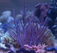 dried sea fans for sale sea fans and gorgonians sea fan corals