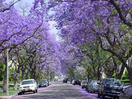 tough and beautiful the jacaranda is ideal for many uses guyana