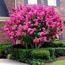 pink velour crape myrtle pink flowers small trees and bright pink