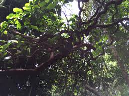 cool trees australia trip report jonathan little