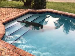 video 8 ft long crocodile takes dip in florida swimming pool