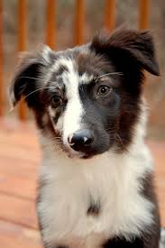 australian shepherd wolf view topic two different lives semi lit dog rp open chicken