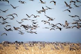 early arriving sandhill crane migration has experts curious