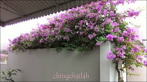 simple living in nancy bougainvillea spectabilis and its uses