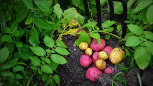 how to plant grow u0026 harvest potatoes organically from start to