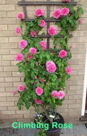 top 10 pergola plants to grow in your pots home gardeners