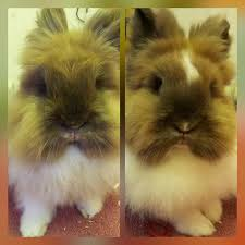 lion heads for sale 2 lionheads for sale cleethorpes lincolnshire pets4homes