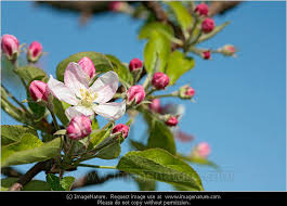 apple blossom with blue sky photo photo images