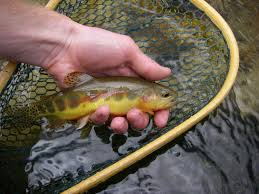 native trout fly fishing california golden trout