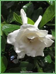 Gardenia Topiary Gardenias Plant Care And Collection Of Varieties Garden Org