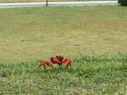 crabs of christmas island u2013 christmas island territory of