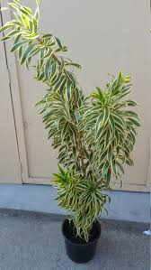 dracaena pleomele reflexa song of india tropical plant in 10 pot