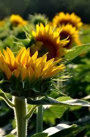 37 best grinter u0027s sunflower farm images on pinterest sunflowers