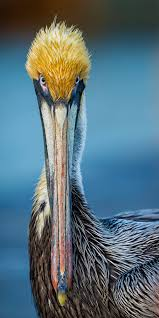 brown pelican title why the long face by daniel parent