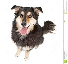 t shirt australian shepherd australian shepherd mix dog stock photos image 16337193