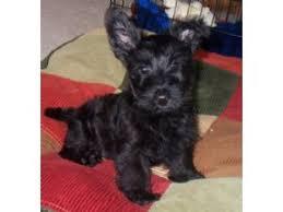 affenpinscher for sale ohio scottish terrier puppies in ohio