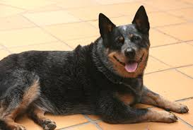 beagle x australian shepherd what you need to know about the australian cattle dog temperament