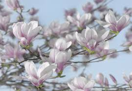 brewster home fashions komar magnolia wall mural reviews wayfair komar magnolia wall mural