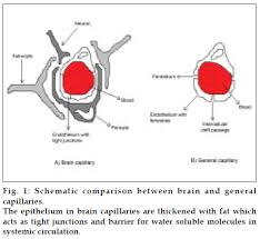 Blood Brain Barrier Anatomy Cns Drug Delivery P Glycoprotein Nano Particles Blood Brain