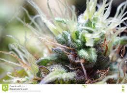 cannabis flowers stock photo image 77265218
