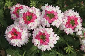 verbena flower lanai pink verbena proven winners