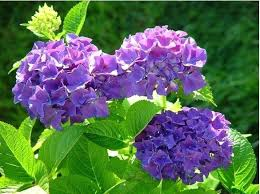hydrangeas flowers pictures of hydrangeas flowers summer and hydrangea pictures