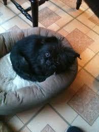 affenpinscher texas maggie mae cuteness maggie mae an affenpinscher rescue dog