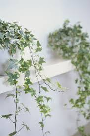 the 25 indoor plants you can u0027t kill ivy english and plants