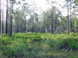 Florida forest images Growth yield timber management forest management florida gif