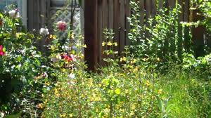 native southern california plants california native plants frontyard youtube