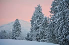 spruce winter snow desktop wallpaper