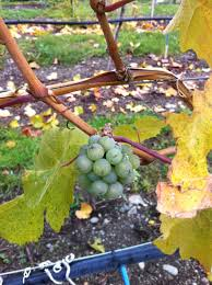 an inquiry into the etymology of grape variety names the
