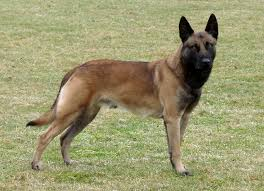 belgian malinois brindle after seeing this vid i now want a german shepard page 1 ar15 com