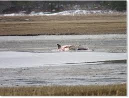 giant basking shark dead winter cape