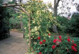 trellis roses cottage garden trellis with roses and peonies plant u0026 flower